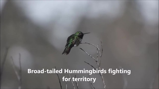 Broad-tailed Hummingbirds fighting for territory (Real-time)