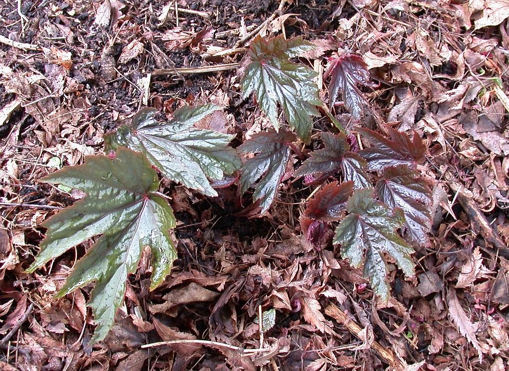 Begonia U584