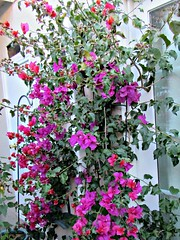 Bougainvillea in our courtyard