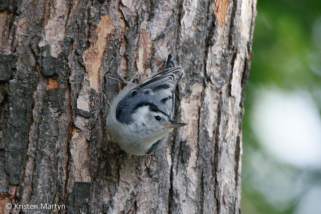 White-breasted Nuthatch (Sitta carolinensis)- Juvenile