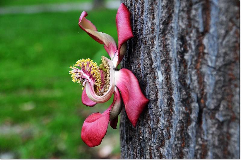 砲彈樹是幹生花,這朵花是從樹幹長出來的,不是釘上去的哦~~