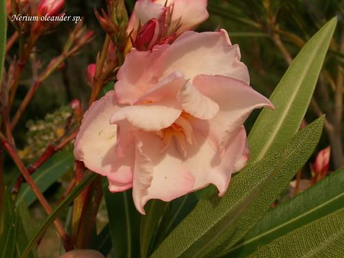 Nerium oleander sp.