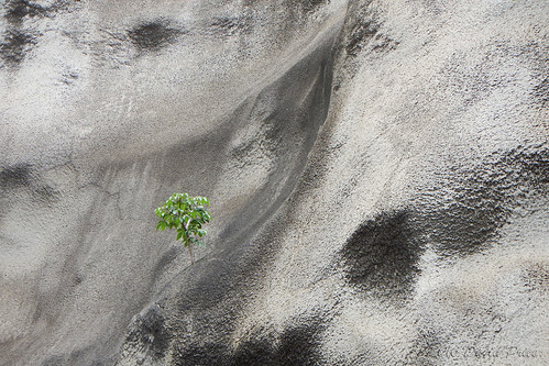 DSCN2406A - Tree Growing Out Of A Cement Wall At Diamond Head