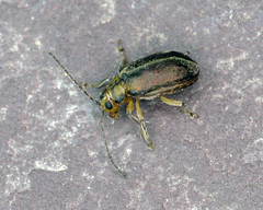 Viburnum Beetle - Pyrrhalta viburni