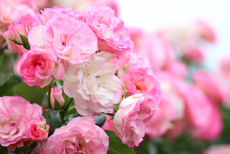 ストロベリーアイス (Rose)
