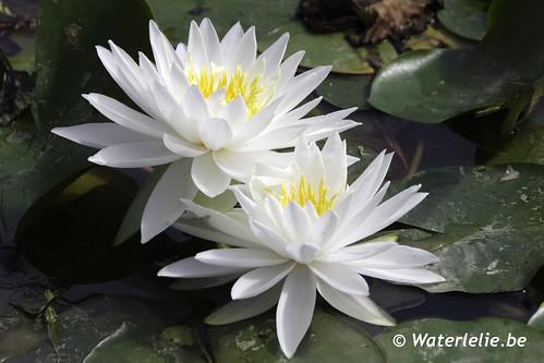 Waterlelie White Sensation / Nymphaea White sensation