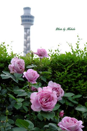 薔薇と横浜マリンタワー -アメリカ山公園-