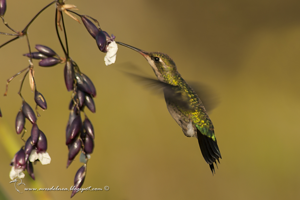 Picaflor común (Glittering-bellied Emerald) Chlorostilbon lucidus