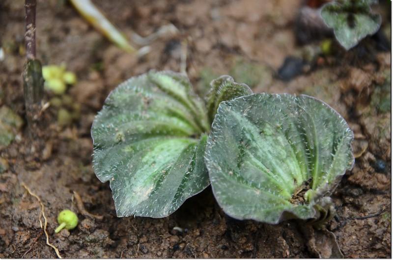 紫背脈葉蘭(葉) 3