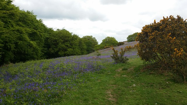 Bluebells on East Hill #sh