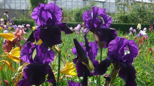 Rouen jardin des plantes iris jean louis allix flickr - Jardin des plantes rouen adresse ...