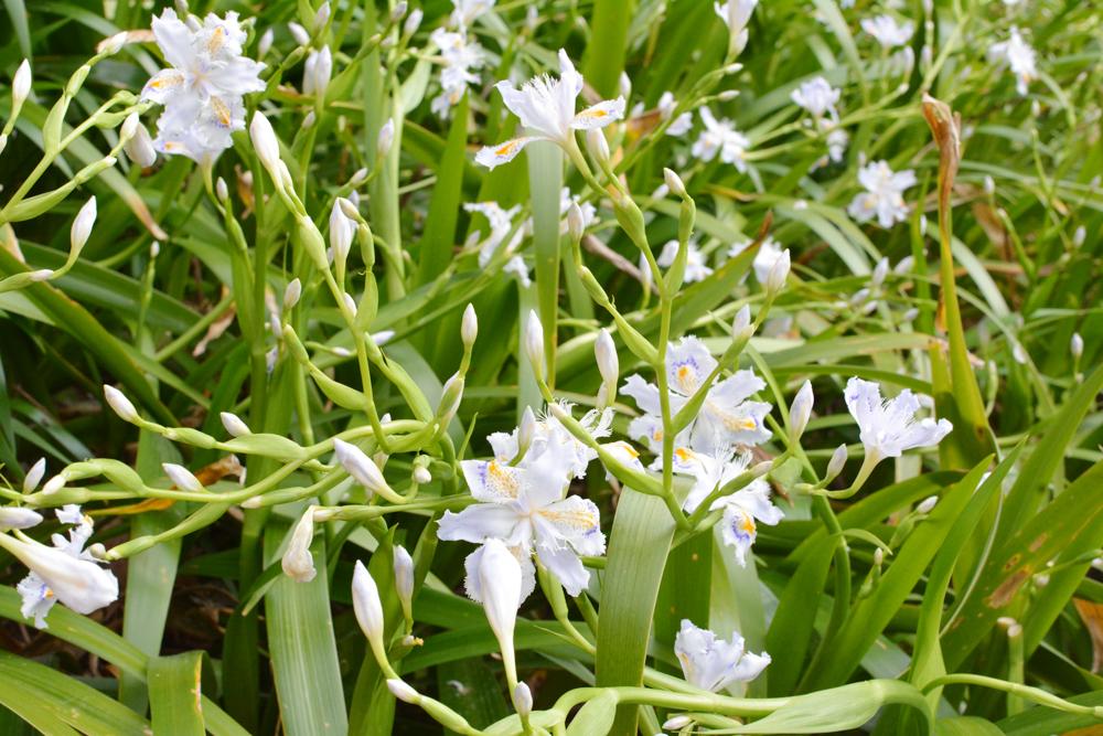 Iris d'Himeji