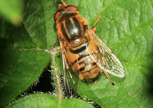 Parhelophilus frutetorum 8020