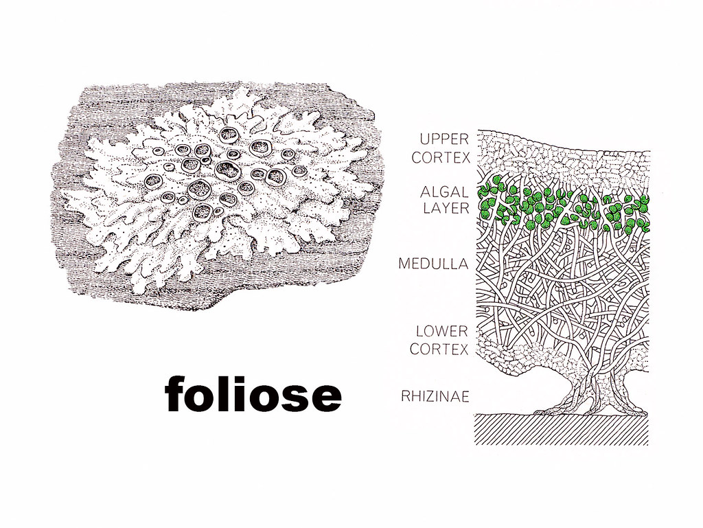 foliose diagram | Lichen of drawing at left is only in ...