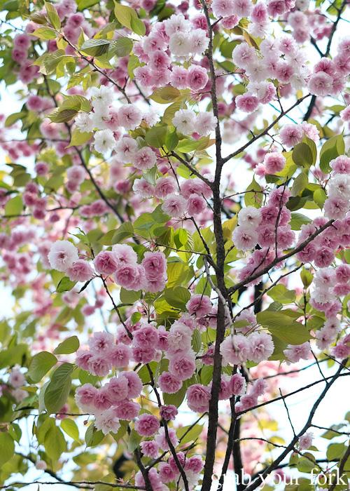 Sakura cherry blossoms at Kenrokuen Garden in Kanazawa, Japan