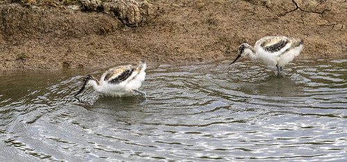 avocet chicks 462 (5)