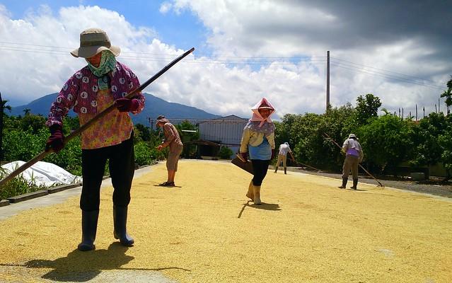 五溝水復耕水稻收成,趁著陽光手工日曬。攝影:李育琴