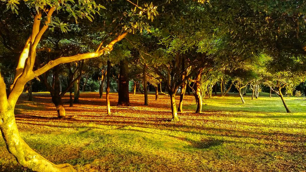 Parque simon bolivar, bogota, arboles en el crepusculo