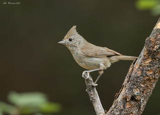Oak Titmouse (Adult) | by Jon Cormorant