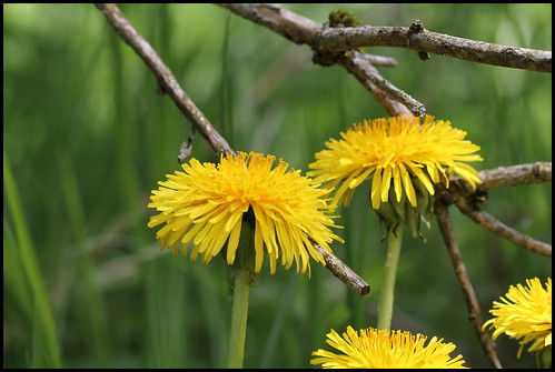Taraxacum officinalis - groupe (11)