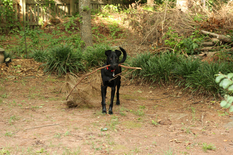 Black Lab Mix with a Giant Stick