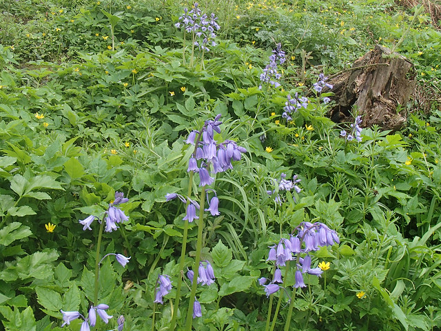 bluebells-river-valley-8may15
