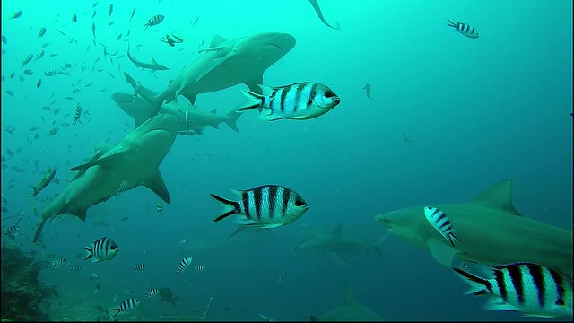 Beqa_Sharks