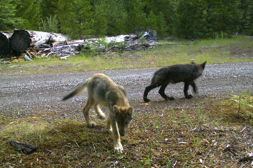 Roguepack pups 7 12 16 2 summer 2016 pup surveys by u s for Oregon department of fish and wildlife jobs