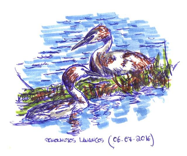 Somormujos lavancos (Podiceps cristatus)
