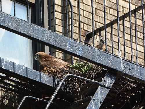 JHW Hawk Nest - 2221