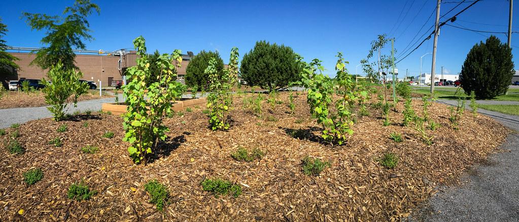 Arbustes à fruits au jardin des Rendez-vous