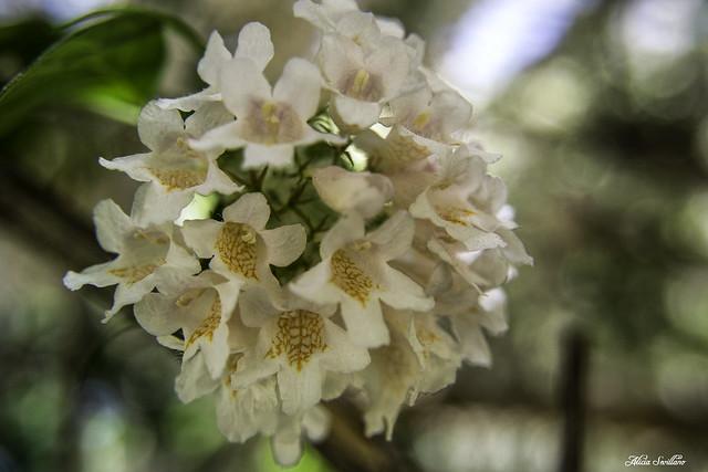 Kolkwitzia Amabilis.