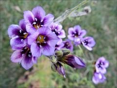 Gilia tricolor, top view