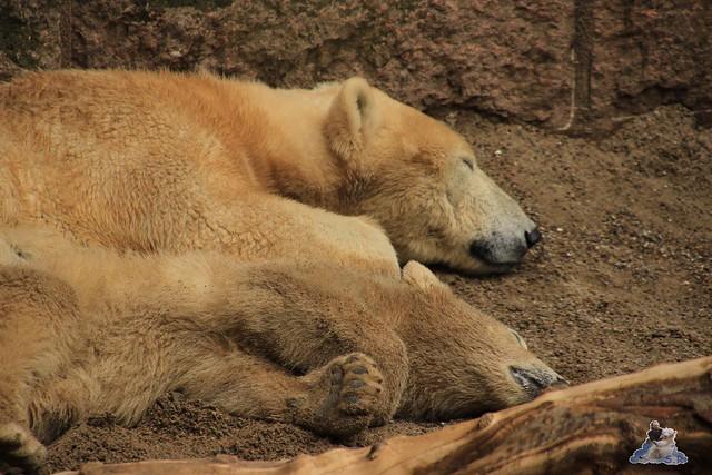 Eisbär Fiete im Zoo Rostock 23.05.2015 9