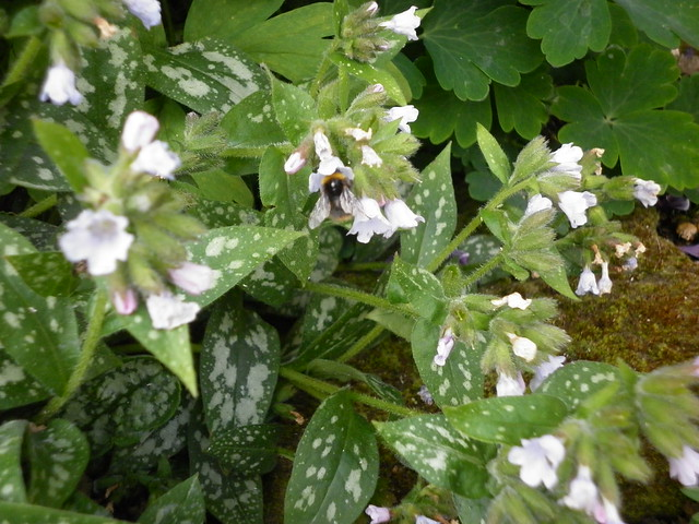 Bee visiting the pulmonaria