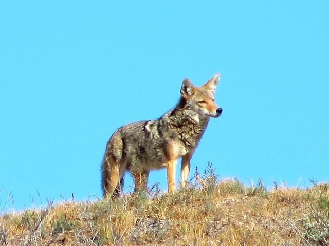 hello coyote