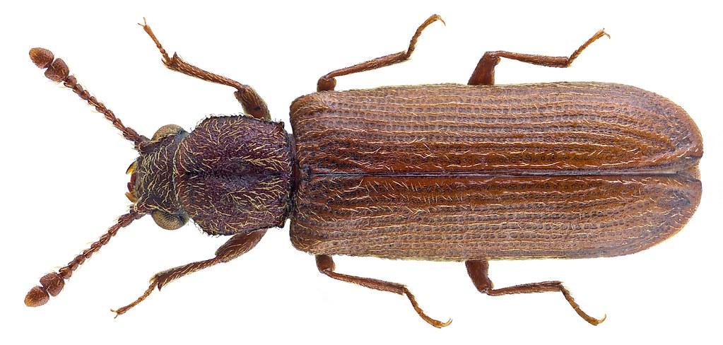 lyctus linearis  goeze  1777