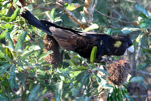 Black Cockie in the Banksia tree