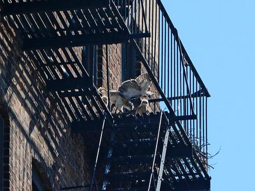 Hawk Nestlings - 1467