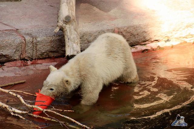 Eisbär Fiete im Zoo Rostock 23.05.2015 200
