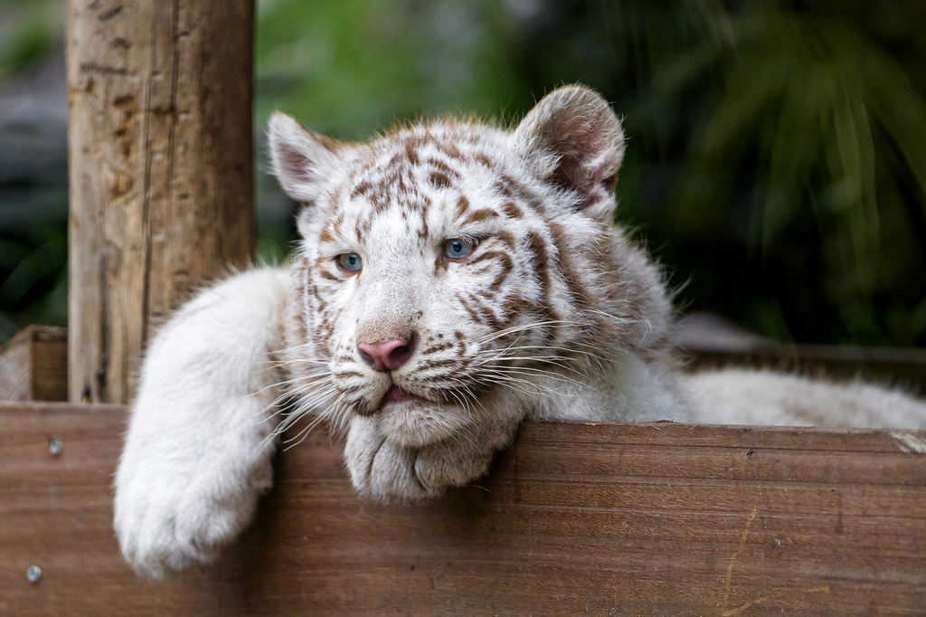 Tired Or Bored Posing White Tiger Cub He May Be Bored