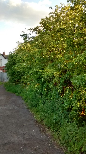 hawthorn hedge June 15