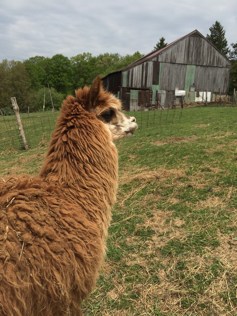 Gabe the Alpaca