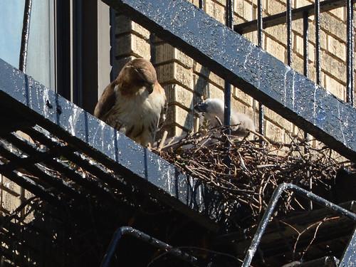JHW Hawk Nest - 1578