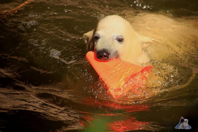 Eisbär Fiete im Zoo Rostock 23.05.2015 241