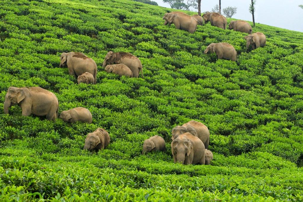 象群穿越印度一處茶園。來源:(Ganesh Raghunathan/Whitley Awards)