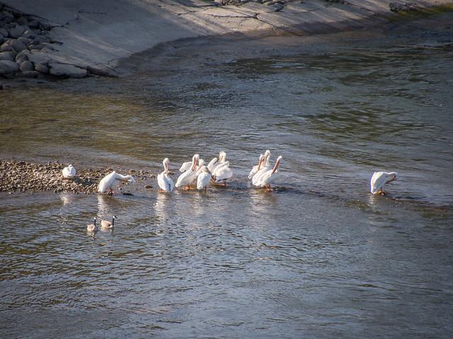 pelican morning preening