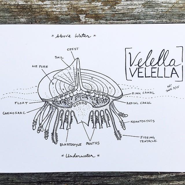 Velella anatomy