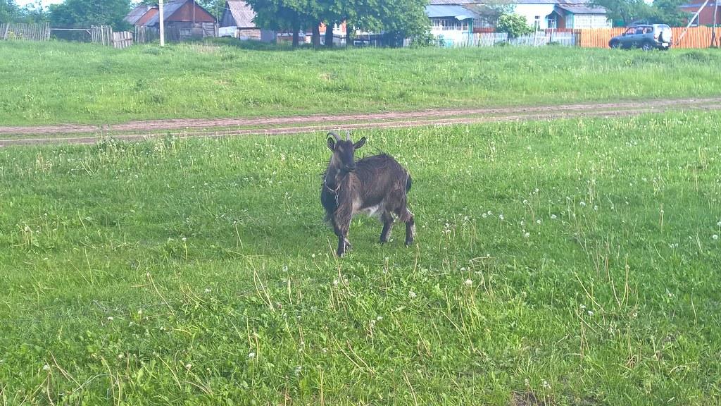 Коза на лугу