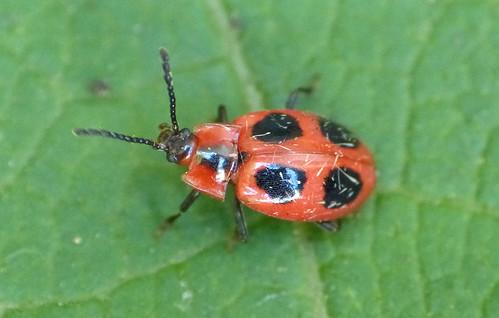 False Ladybird Endomychus coccineus Tophill Low NR, East Yorkshire July 2016